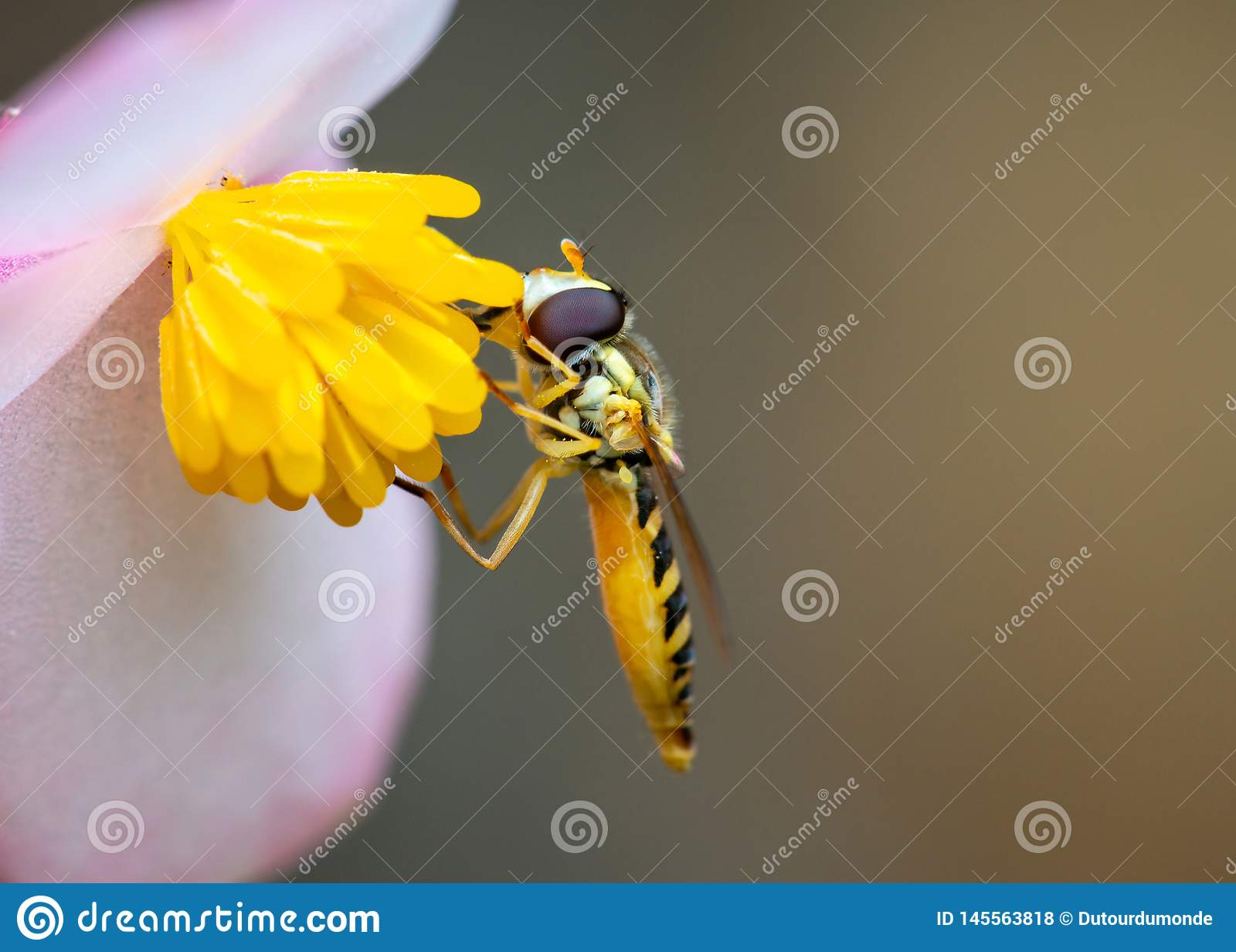 Marmalade hoverfly eating pollen