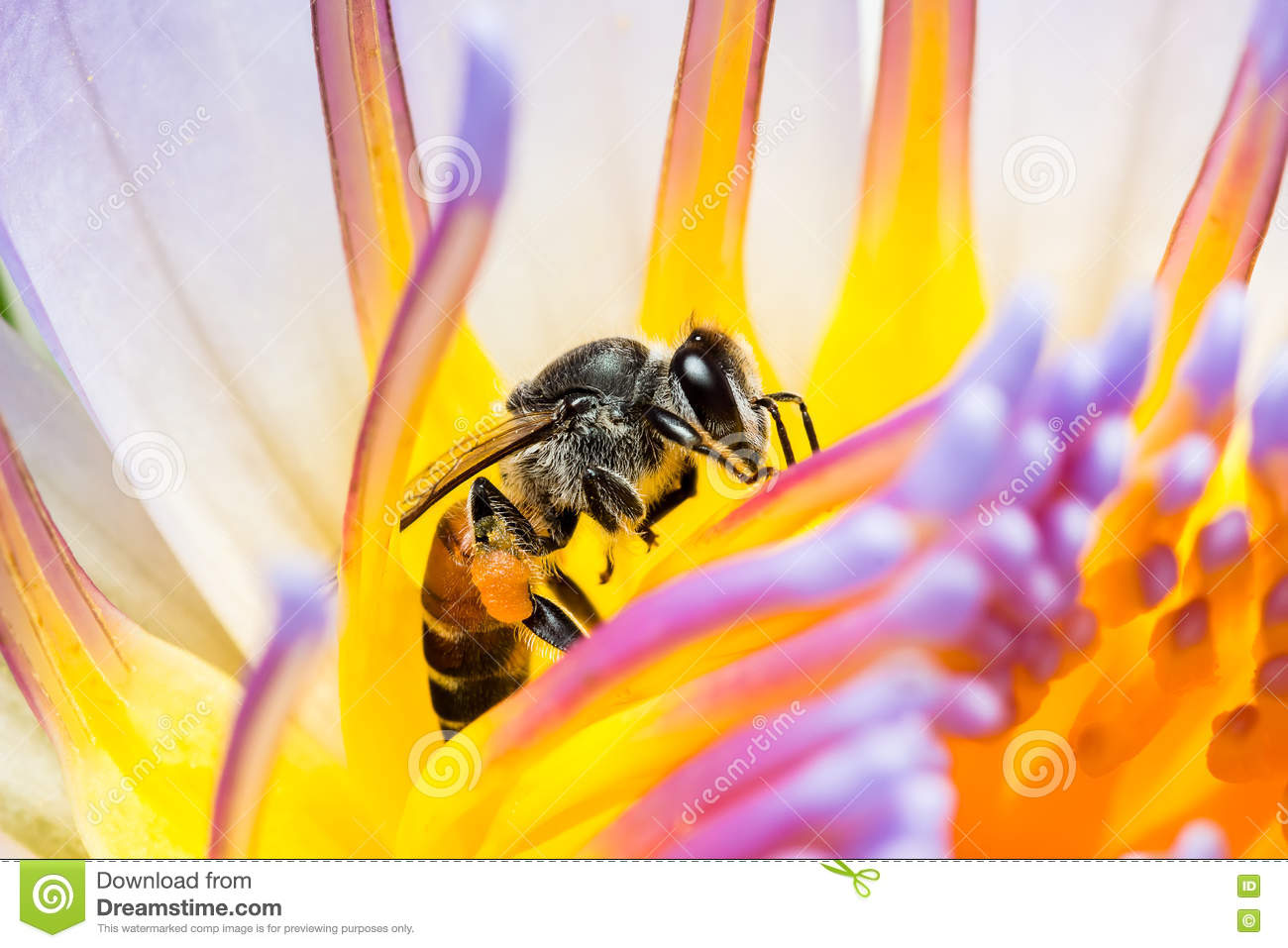 Bee Eating Syrup In The Lotus Flower Stock Image Image Of Lotus