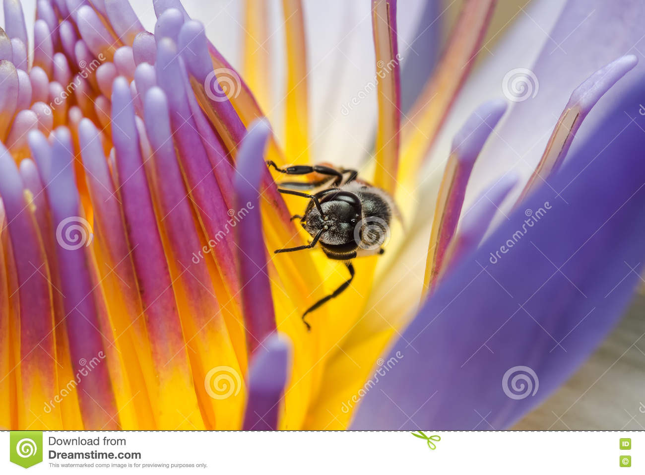 Bee Eating Syrup In The Lotus Flower Stock Image Image Of Water