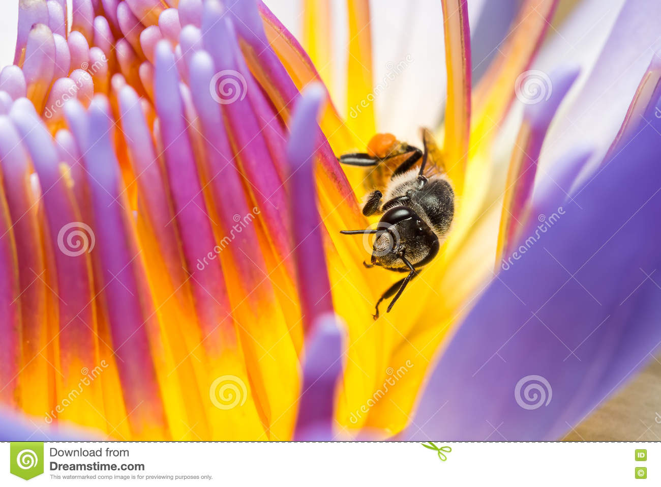 Bee eating syrup in the lotus flower stock image image of insect download bee eating syrup in the lotus flower stock image image of insect carpel mightylinksfo