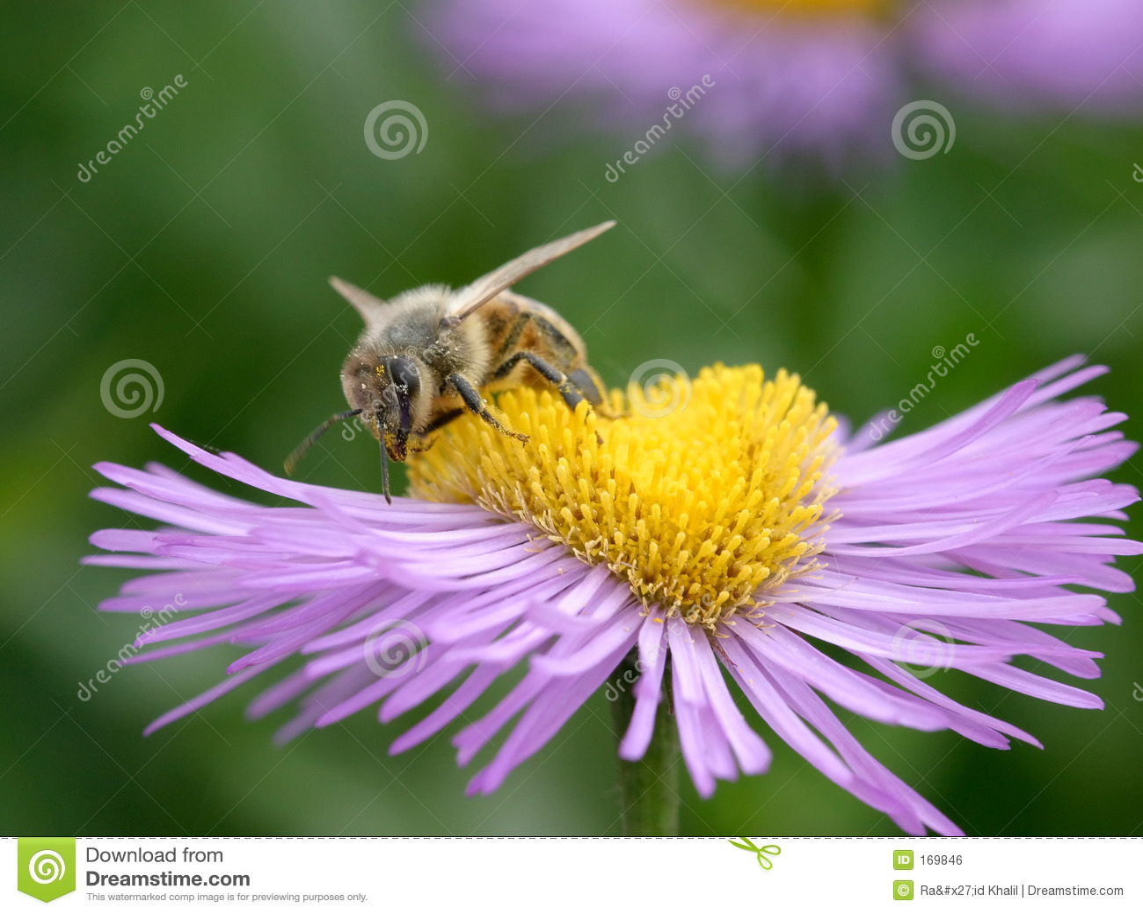 Bee on Erigeron
