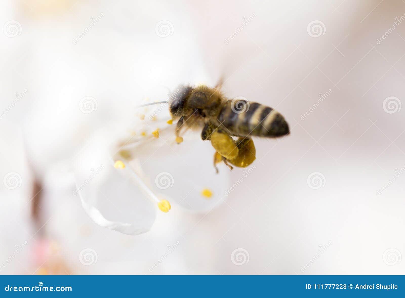 Bee in flight in nature