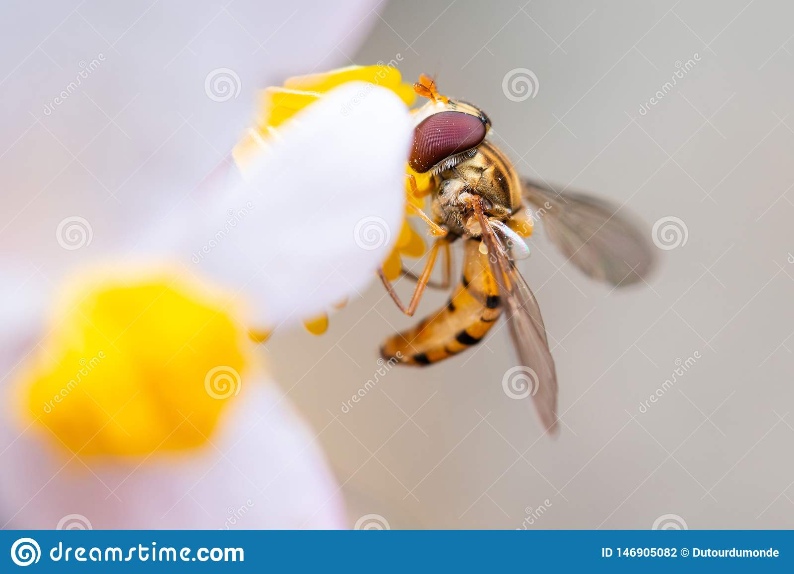 Marmalade hoverfly on a flower eating pollen
