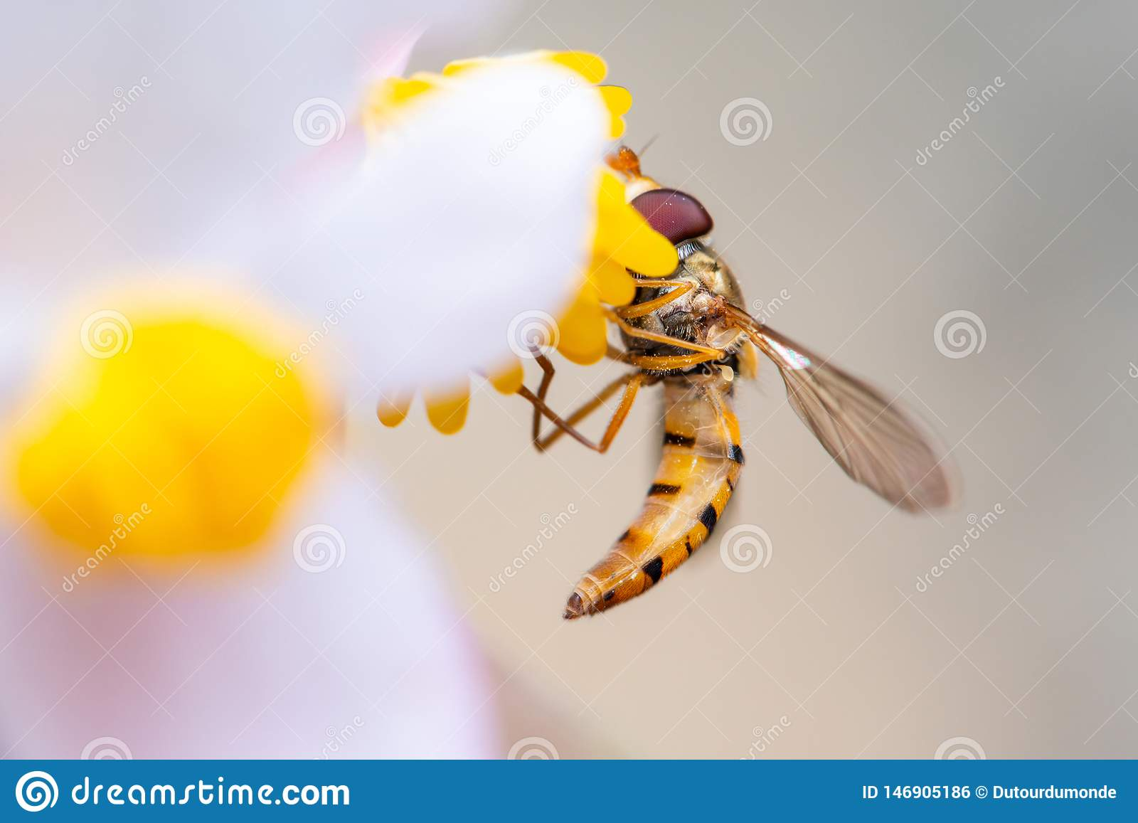 marmalade hoverfly or Episyrphus balteatus on a flower eating pollen