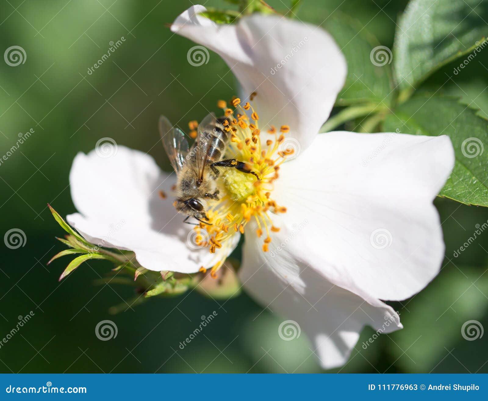 Bee on a flower. macro