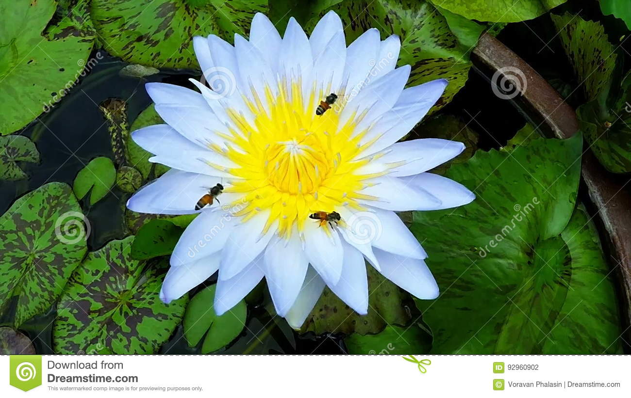 Bee Flying With Beautiful Lotus Flower Waterlily Close Up Slow