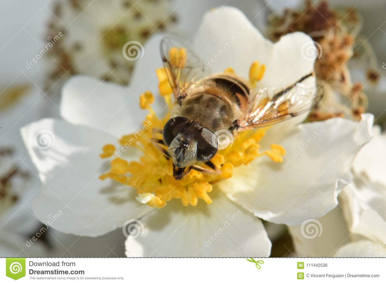 Bee Closeup in White Flower