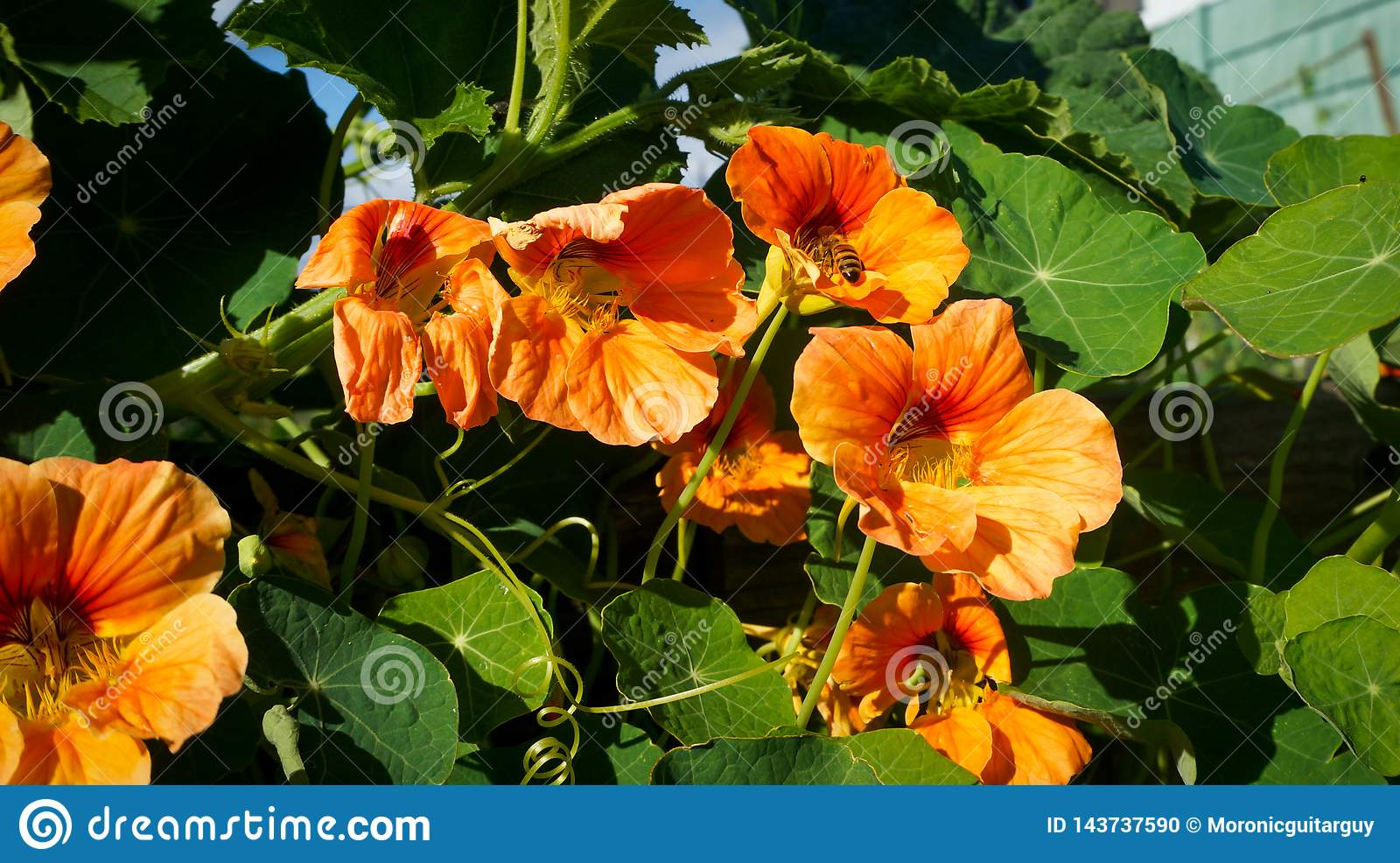 Bee gathers pollen from orange flowers