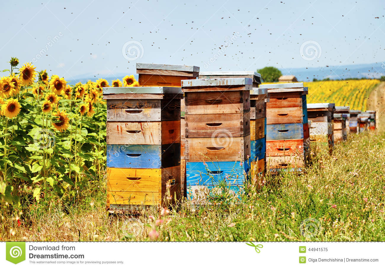bee hives sunflower field florence france 44941575