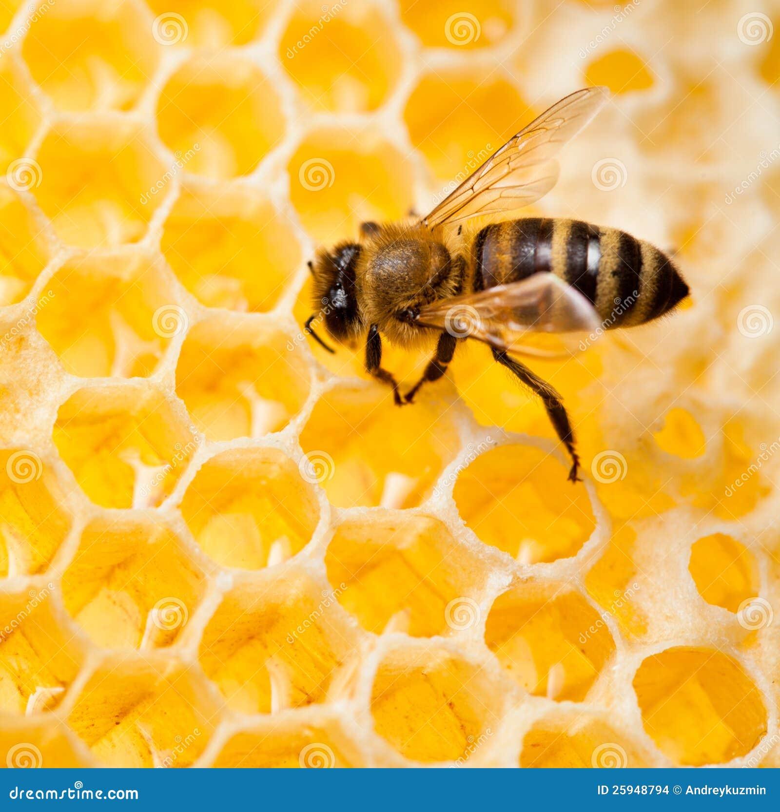 Bee in honeycomb macro shot
