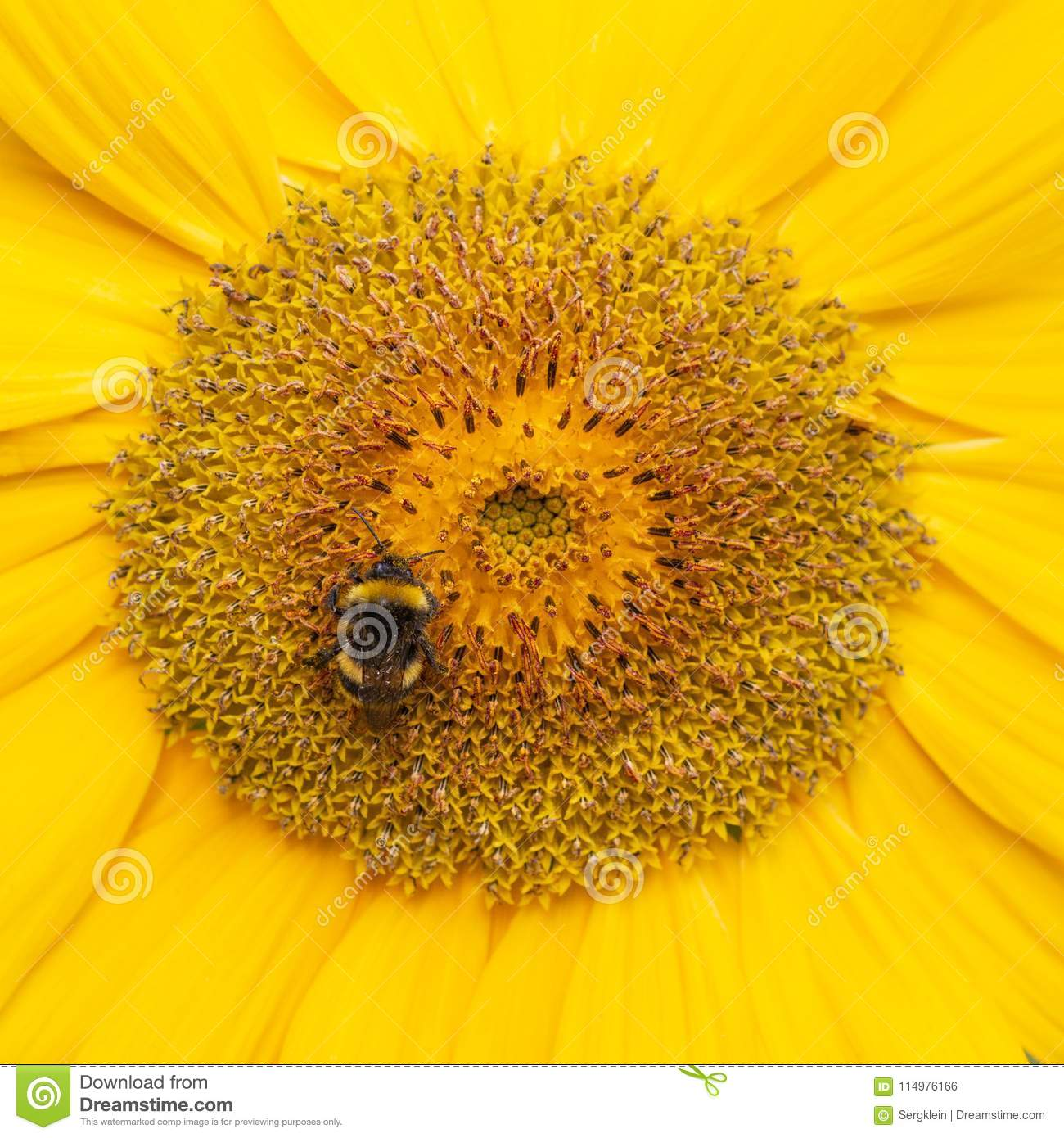A Bee hovering while collecting pollen from sunflower blossom