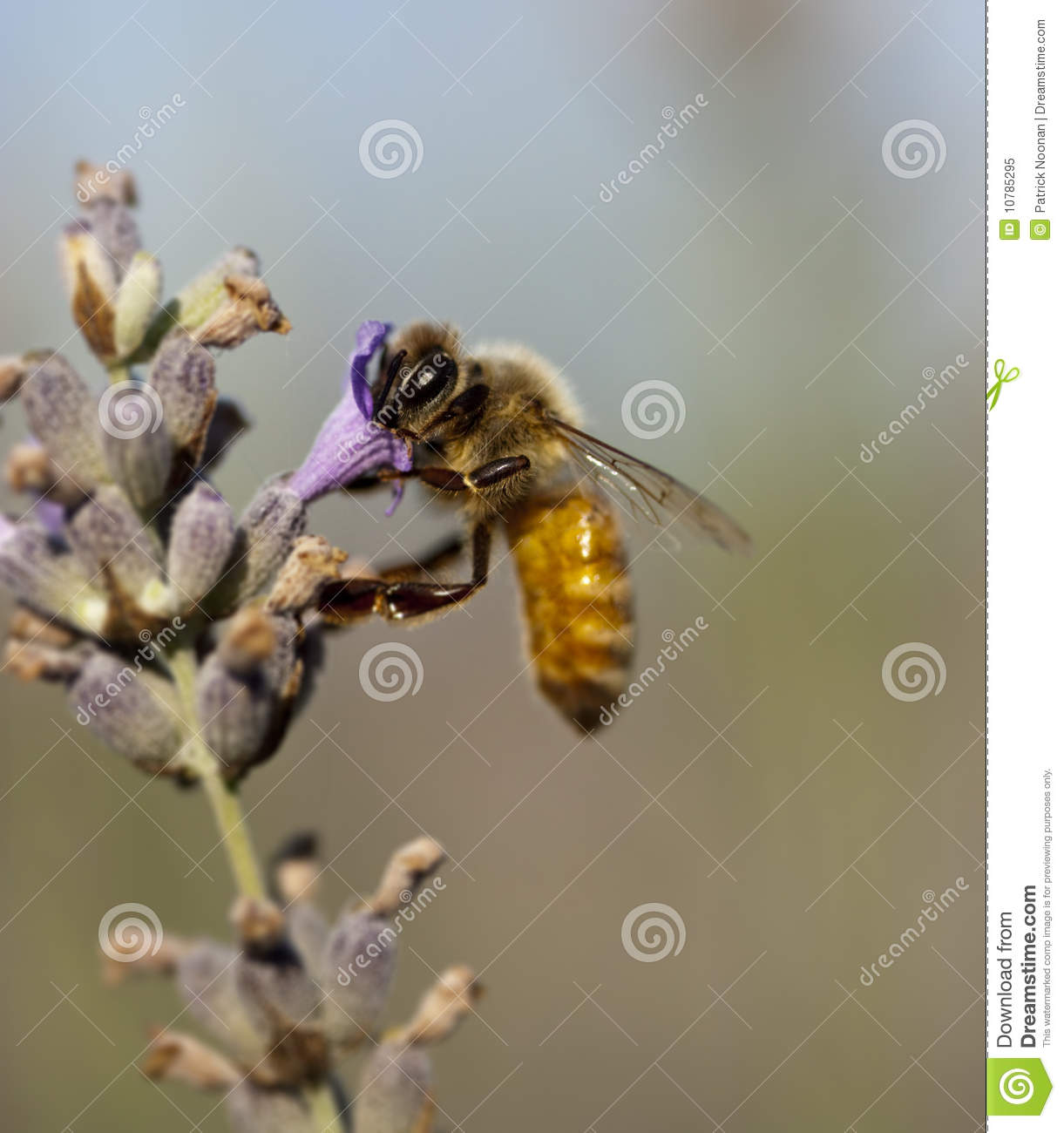 A Bee on a Lavender Plant