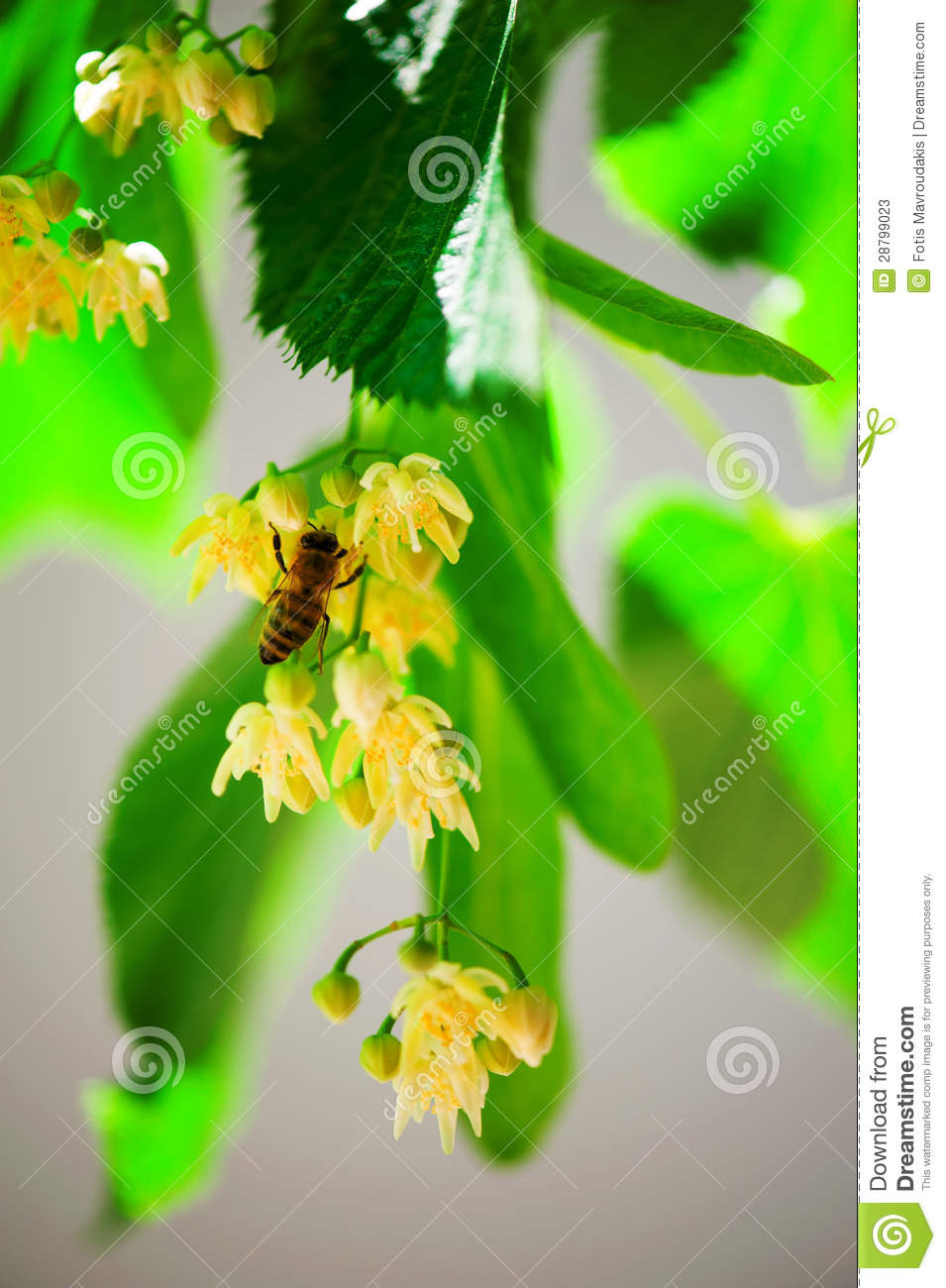 Bee on a lime tree