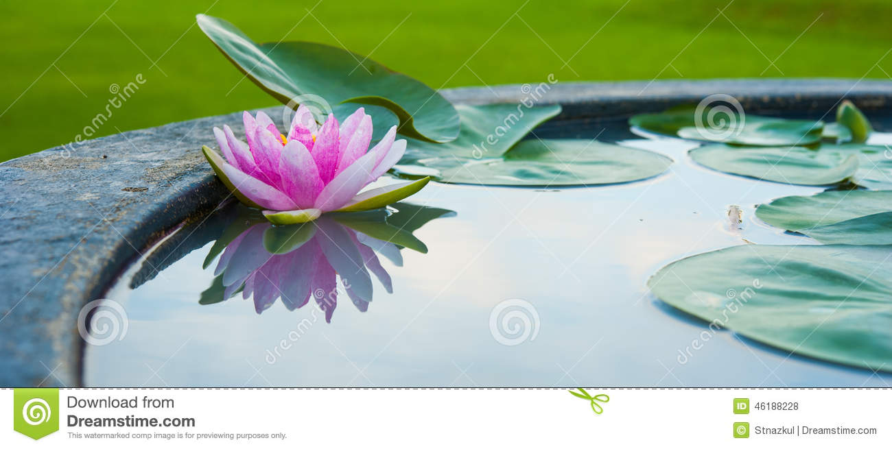 A Bee In Lotus Flower Water Lilly In A Pond Stock Photo Image Of