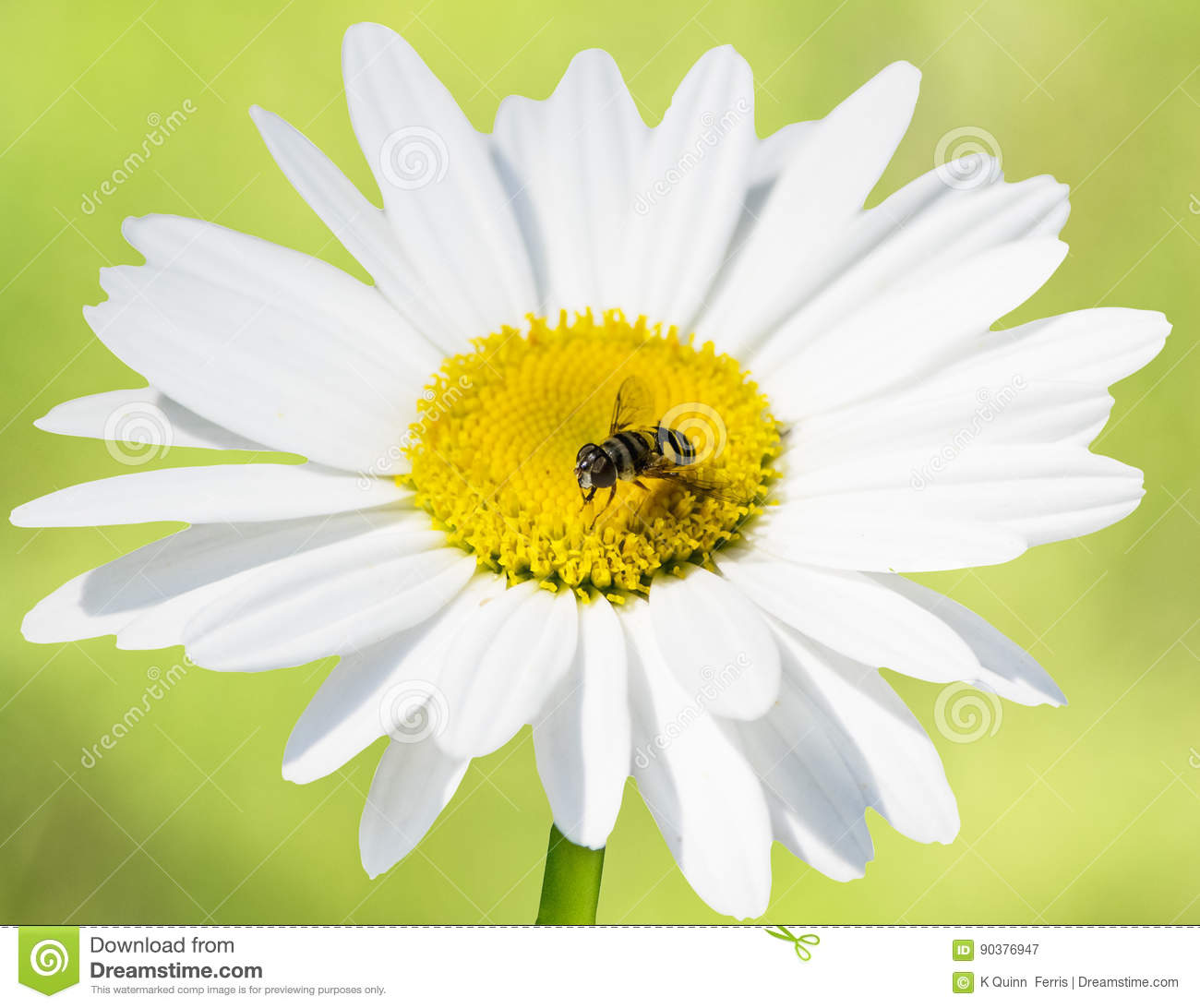 Bee Mimic Hover Fly On Daisy On Green Background Stock Image Image