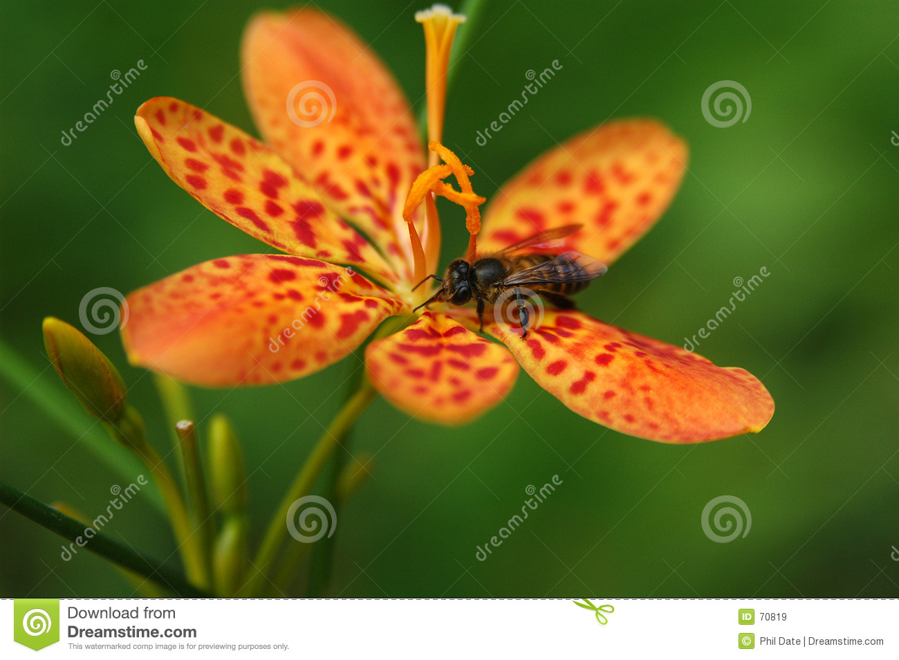 Bee on Orchid