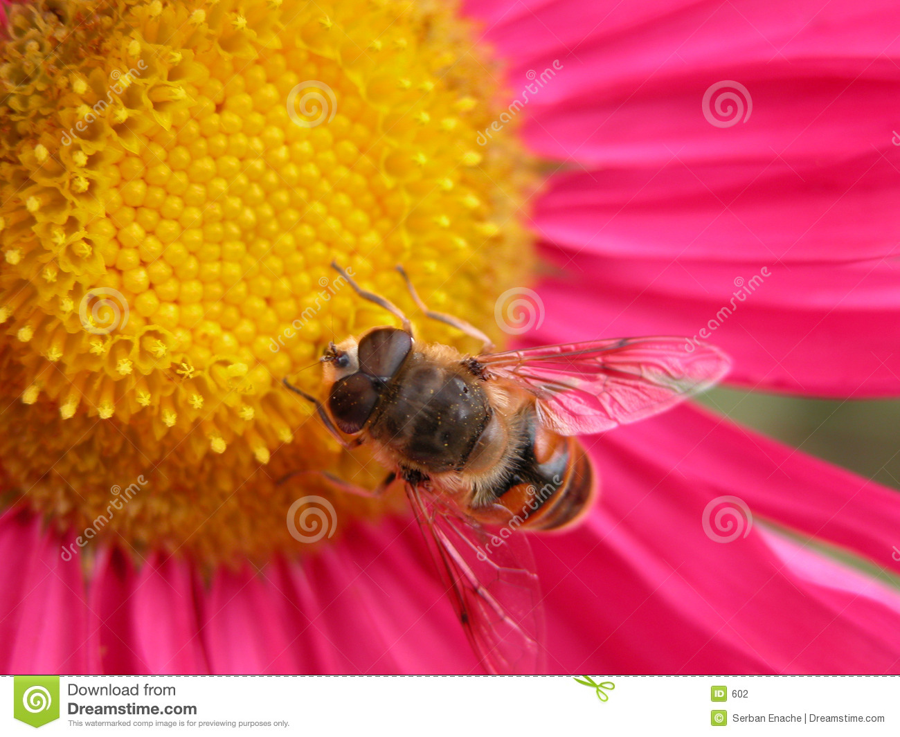 Bee on a pink flower 1