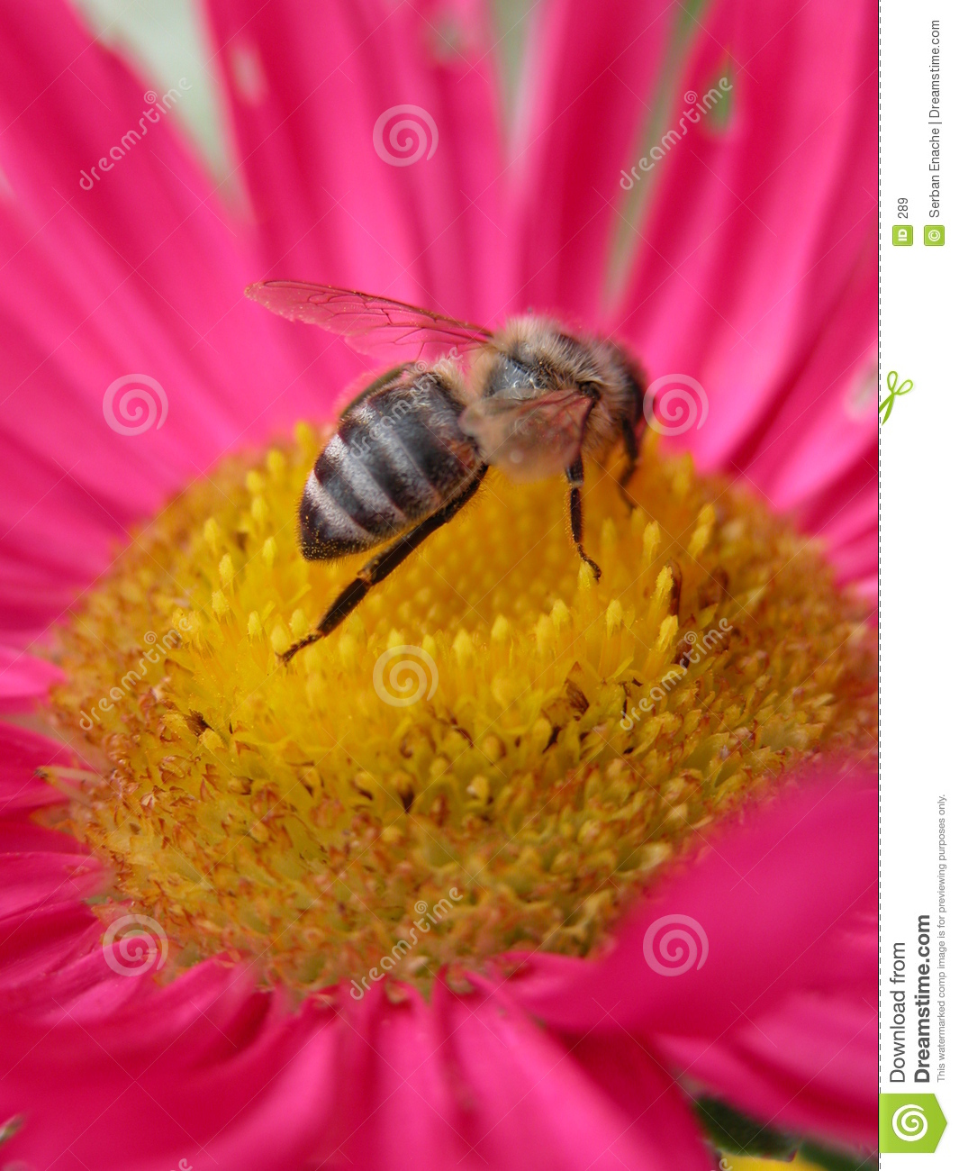 Bee on a pink flower 2