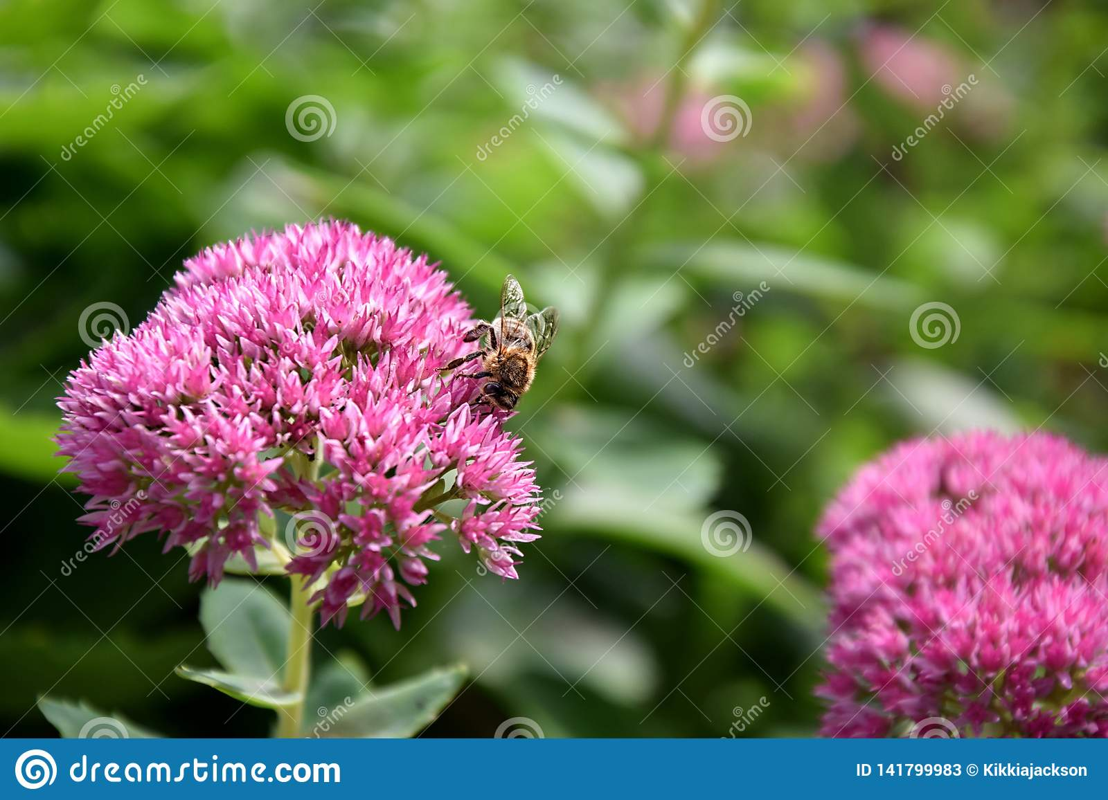 Bee on Pink Flower Summer Closeup Stock Photo