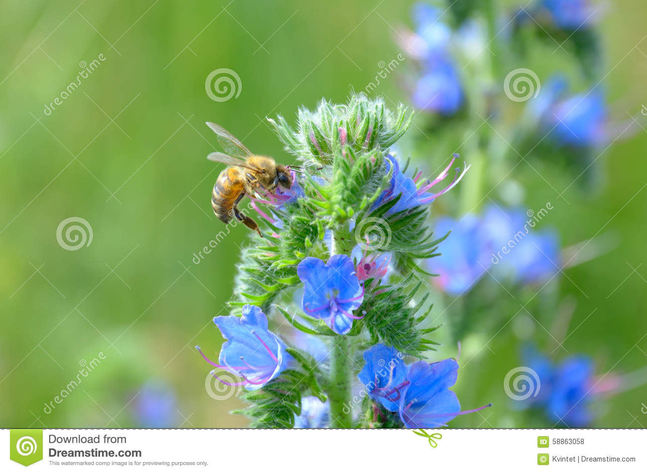 The bee and plant echium vulgare with blue flowers stock photo download the bee and plant echium vulgare with blue flowers stock photo image of echium izmirmasajfo