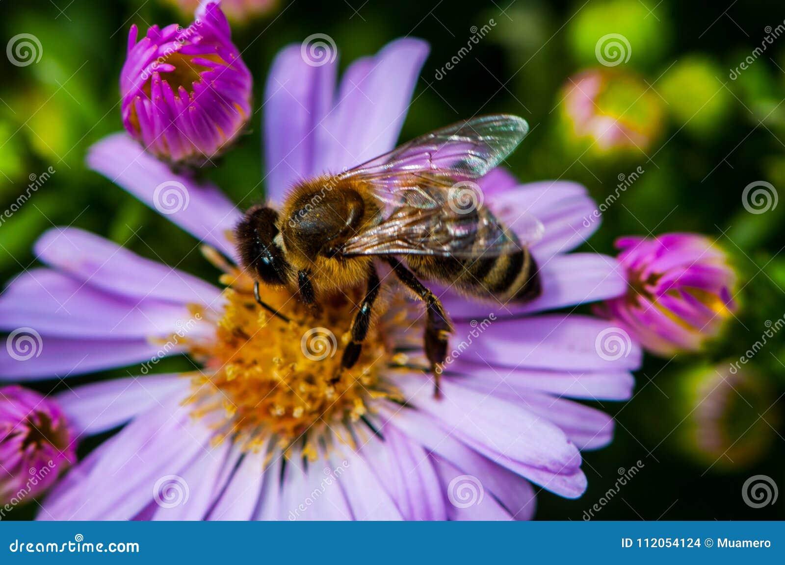 Bee on the purple diasy