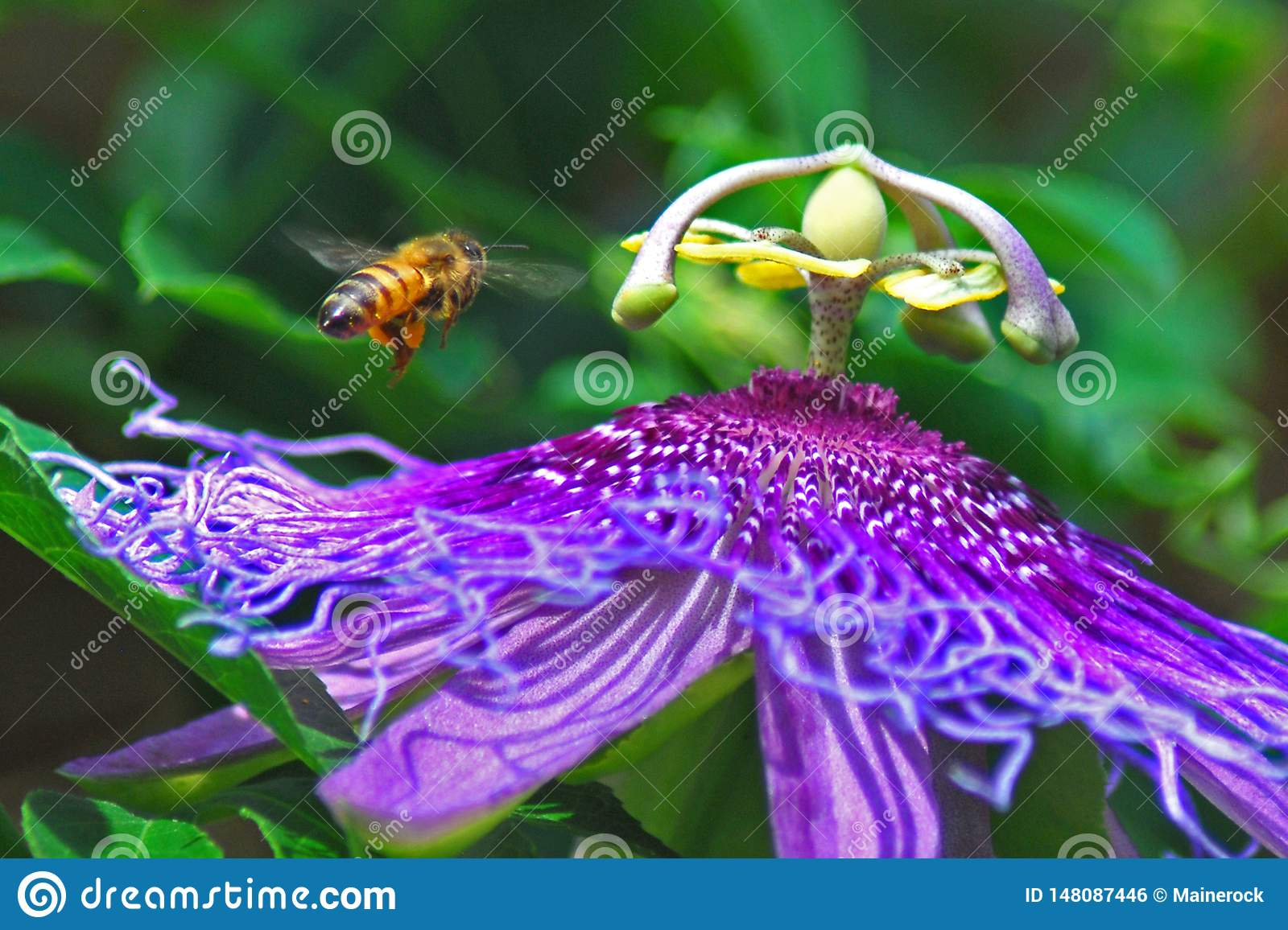 Bee and purple passion vine flower