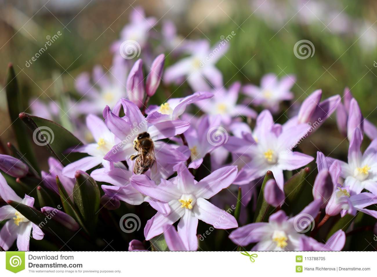 Bee Pollinating A Blue Spring Flower Scilla Of The Scilla