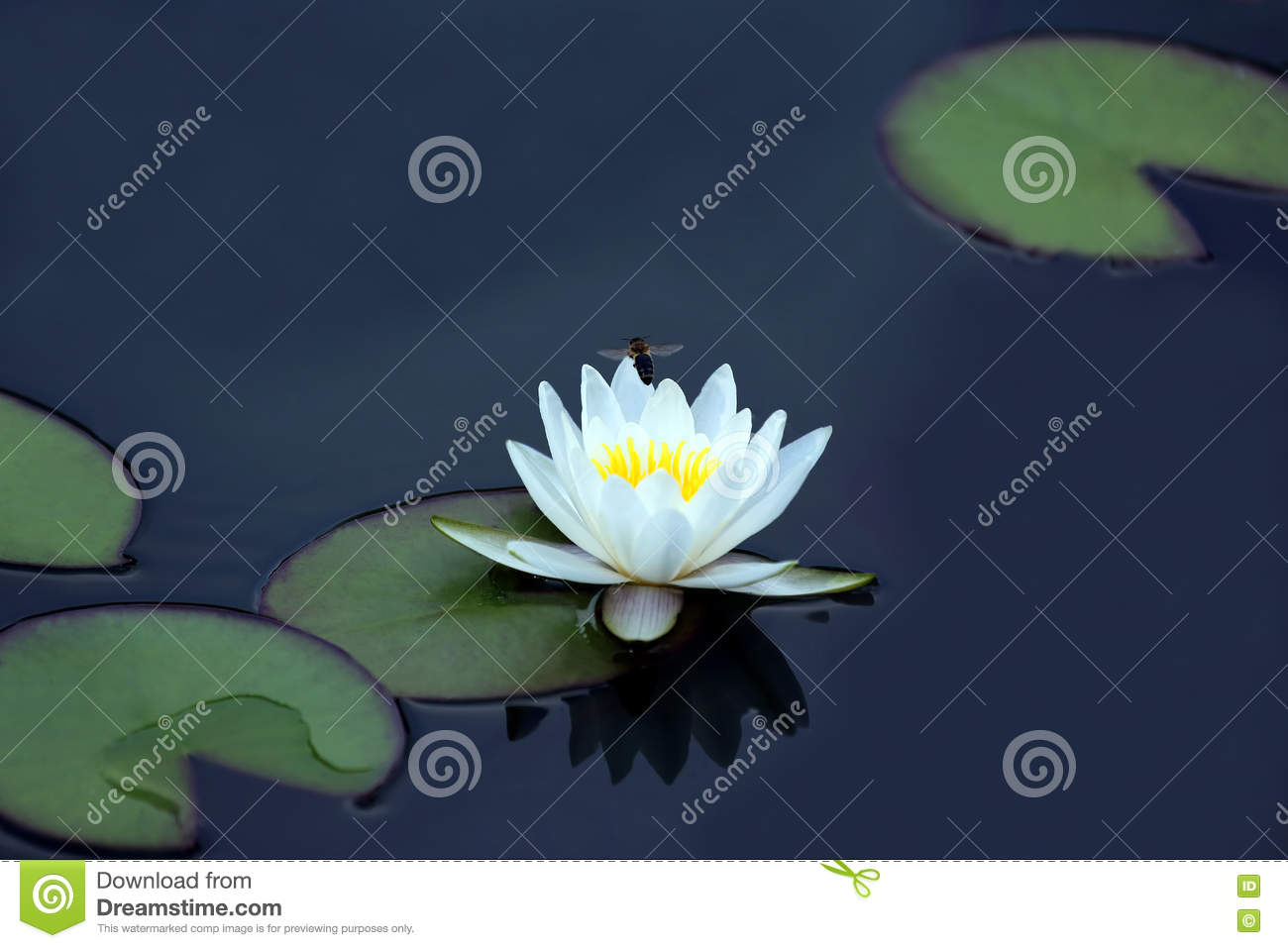 Bee pollinating a white flower of lotus on the water
