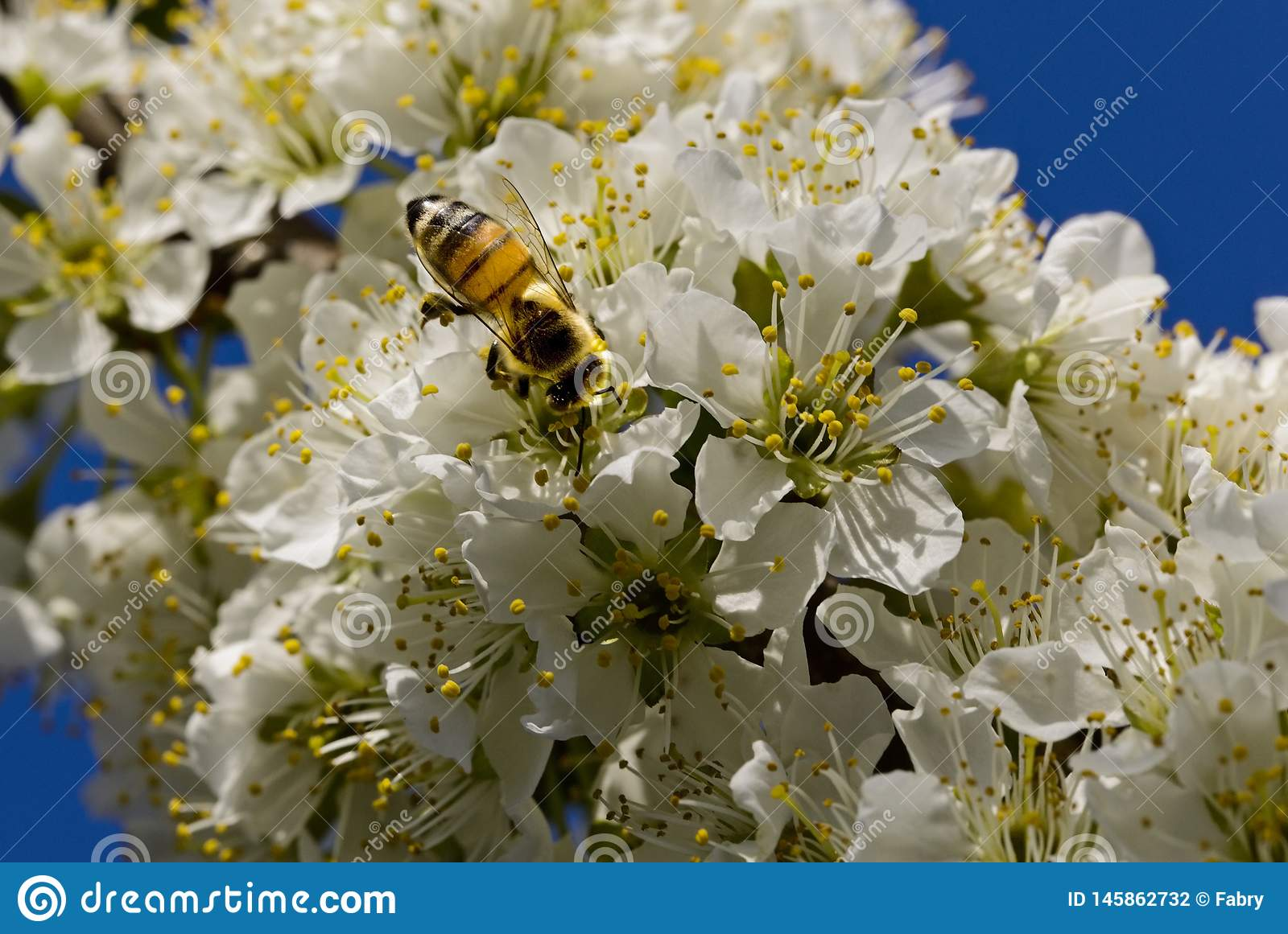 Bee pollinating on white flowers