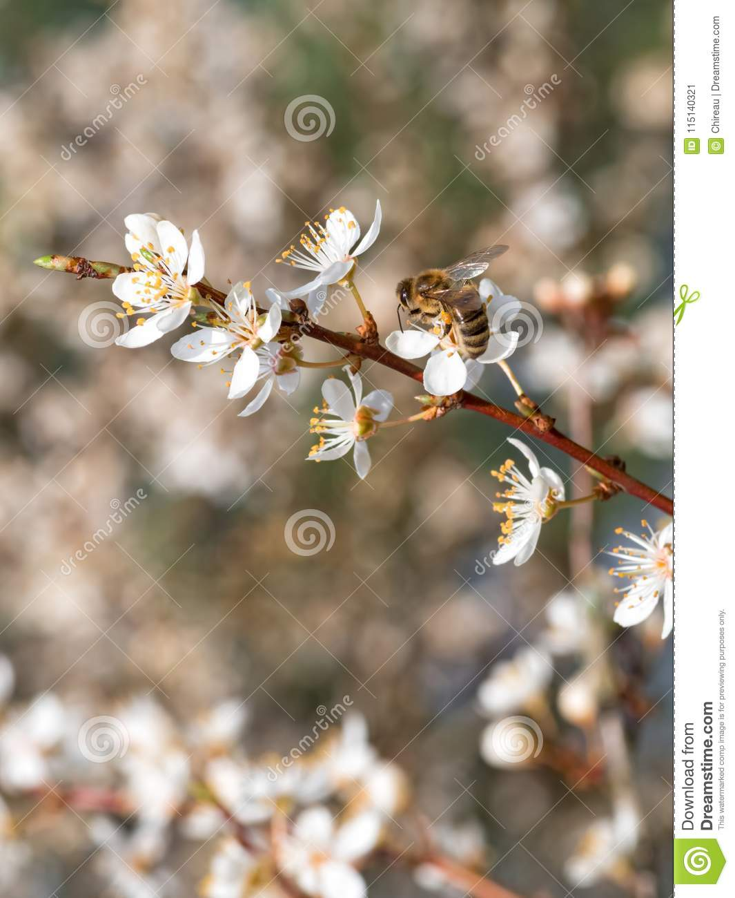 A bee pollinating white fresh flowers on a blooming fruit tree