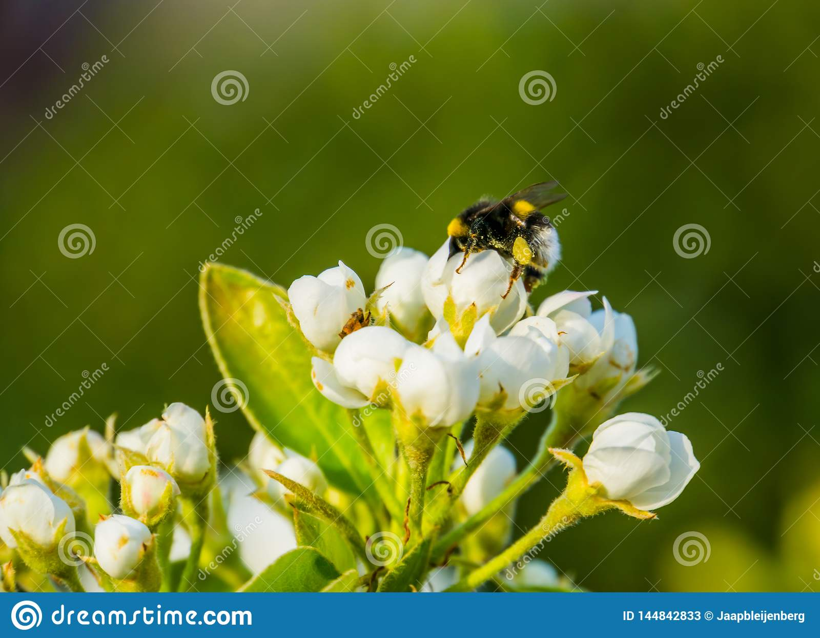 Bee pollinating white roses, macro closeup of a bee on white flowers, nature background