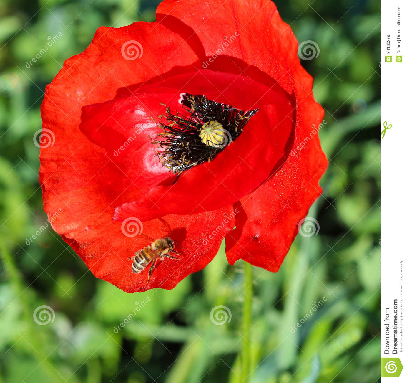 Bee On A Poppy Flower Stock Image Image Of Background 94130279