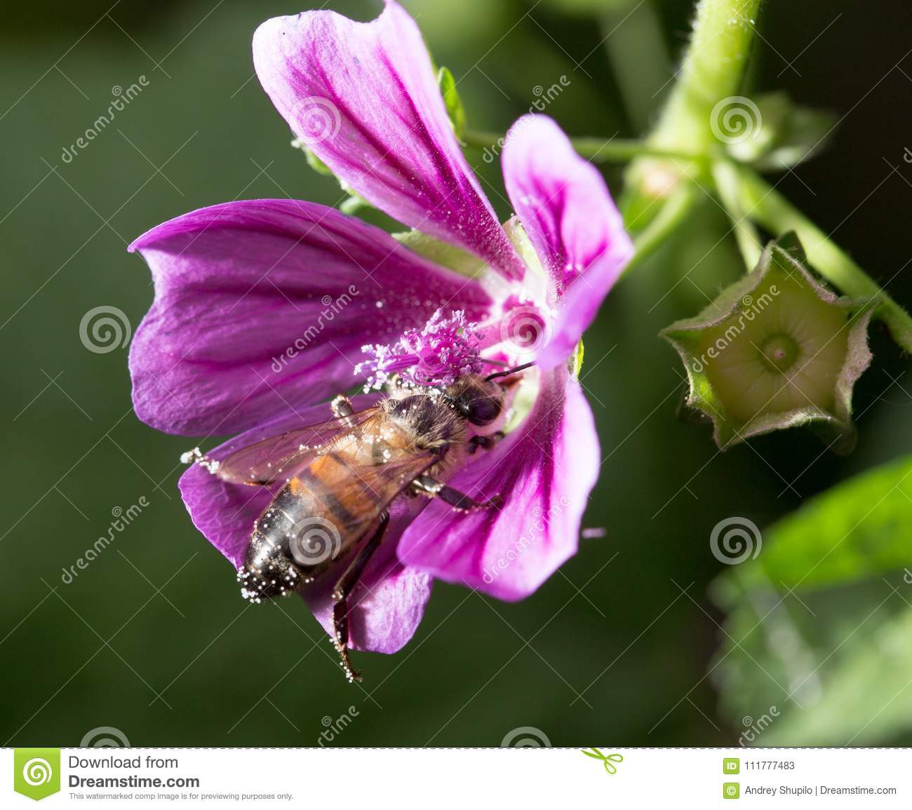 Bee on a purple flower. macro