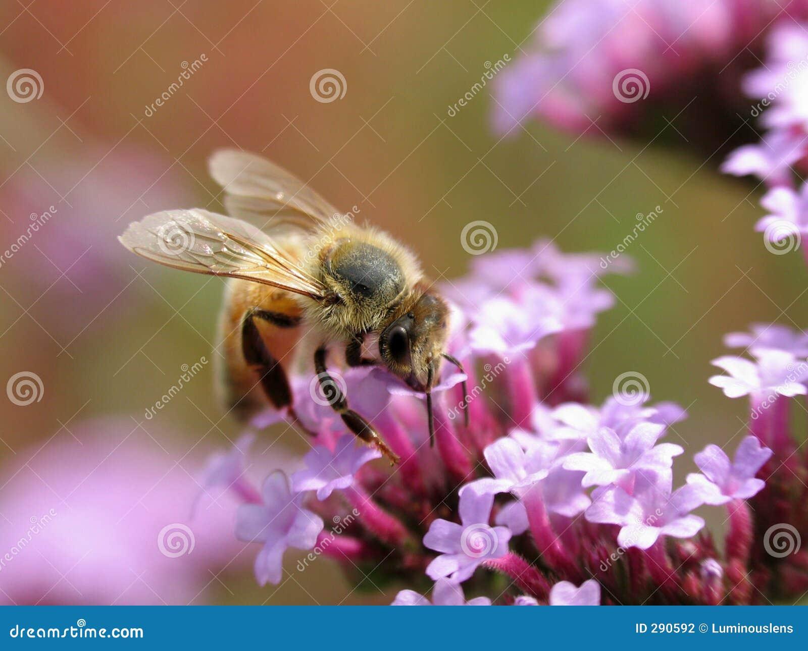 Bee_on_Purple_Flowers