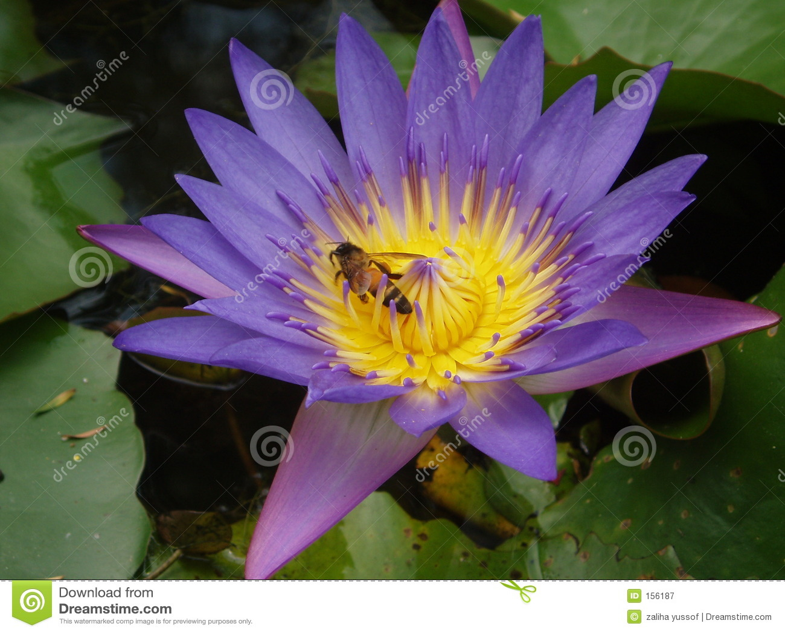 Bee and purple lotus