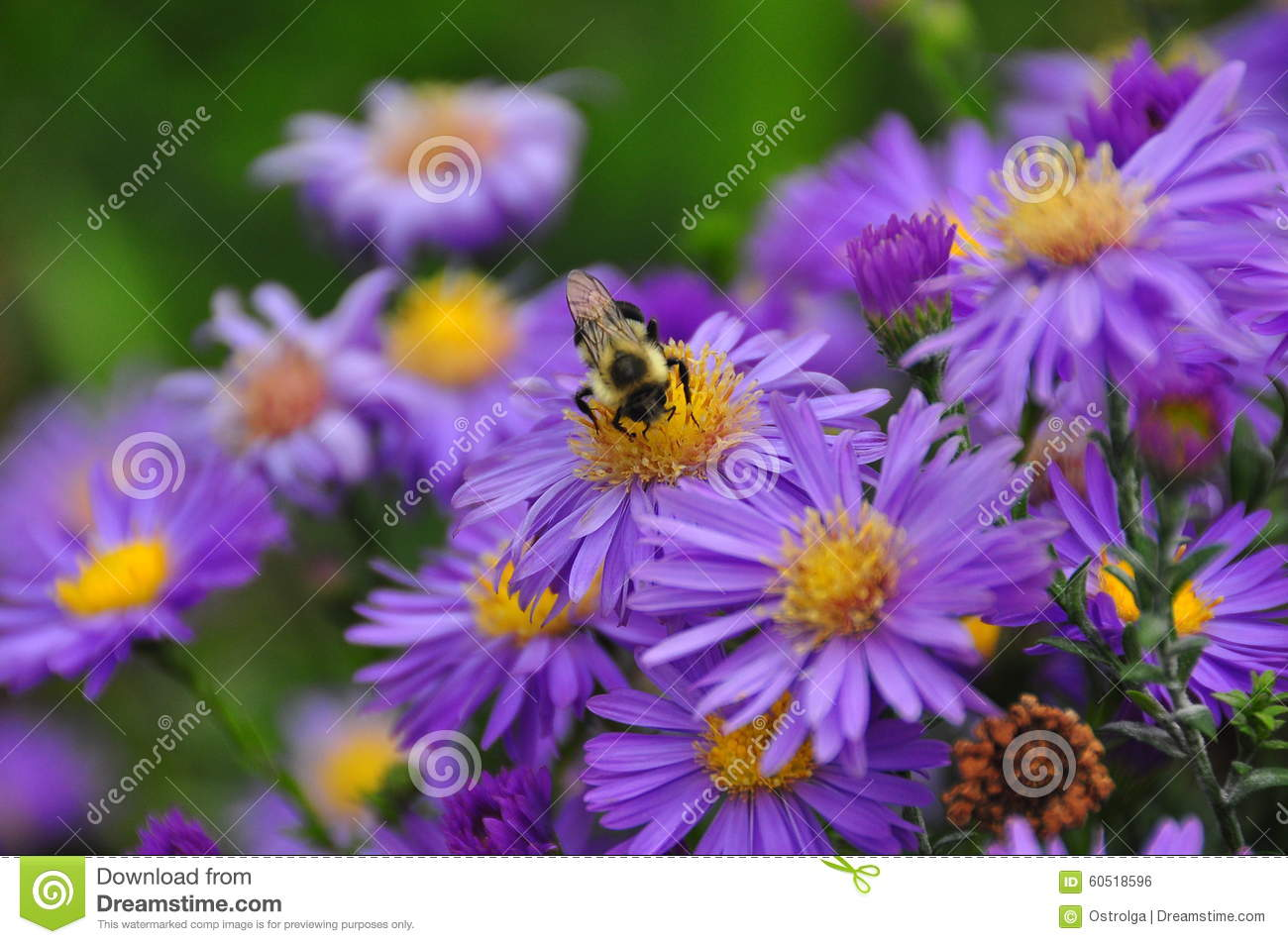 Bee On The Purple And Yellow Flower Collecting A Nectar Stock Photo