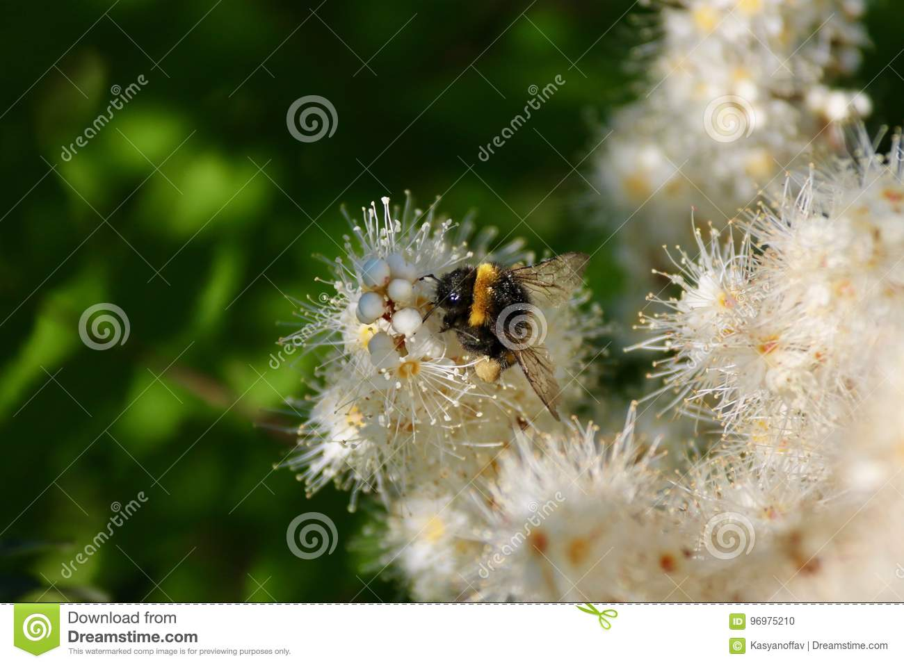 The bee sits on a white flower