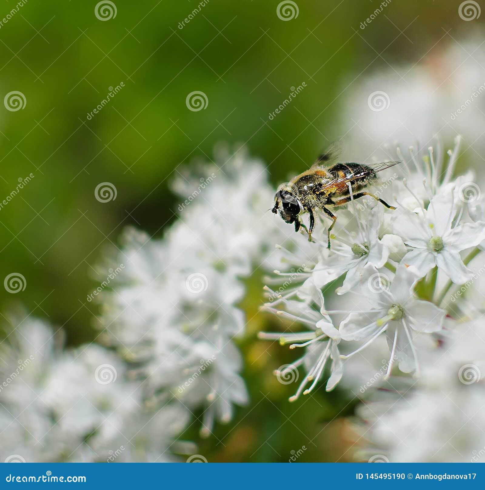Bee closeup on white wild rosemary flower