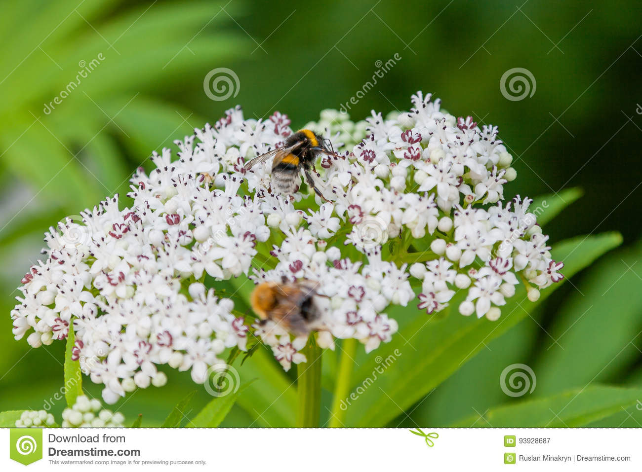 The bee sits on white flowers