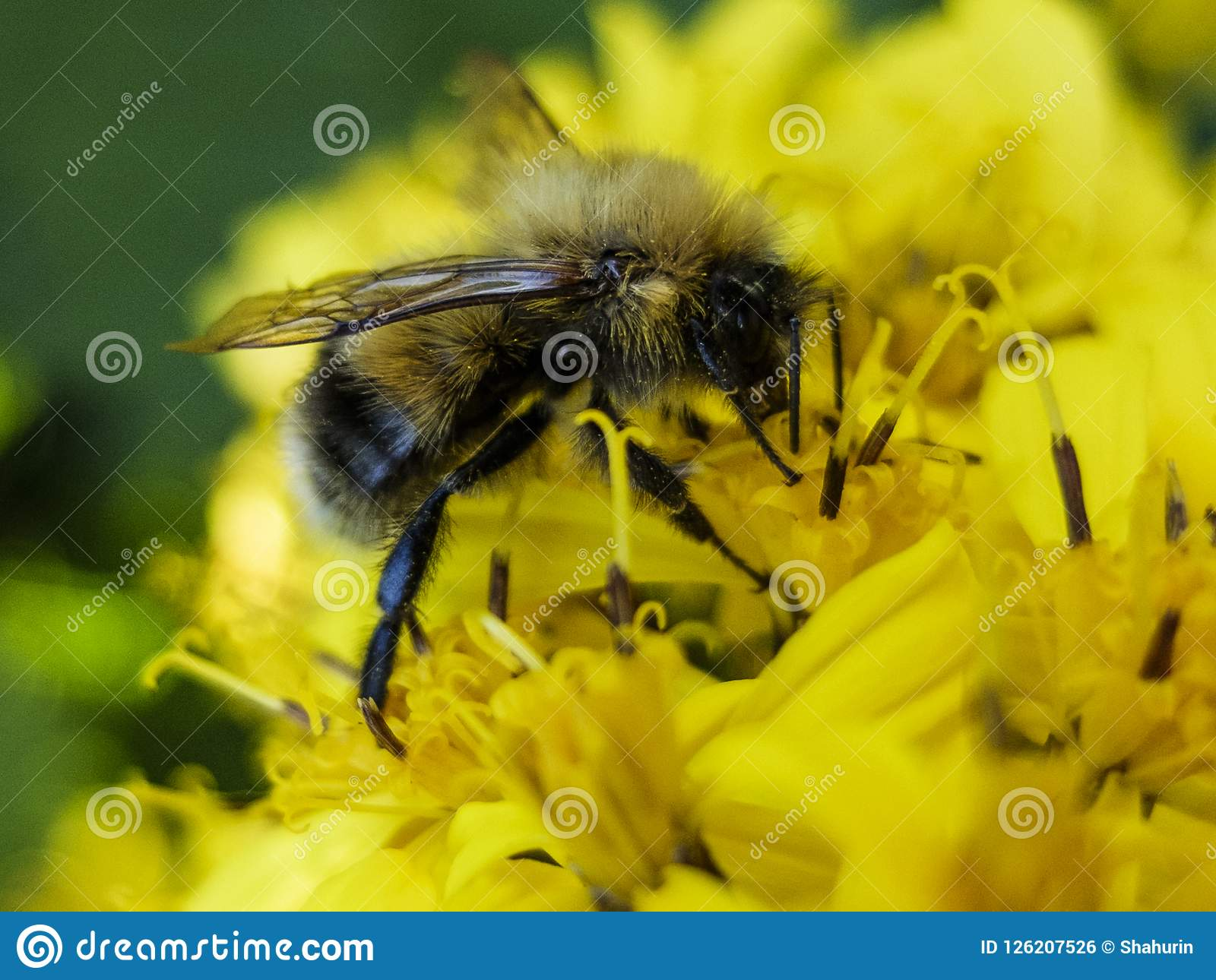 Bee sitting on a yellow flower and collects nectar macro