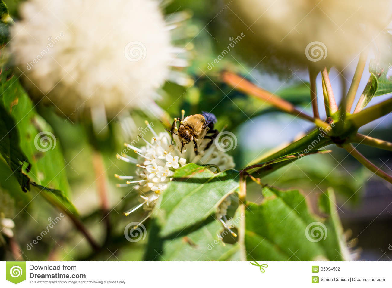 Bee On White Snowball Flower Stock Photo Image Of Plants Beauty