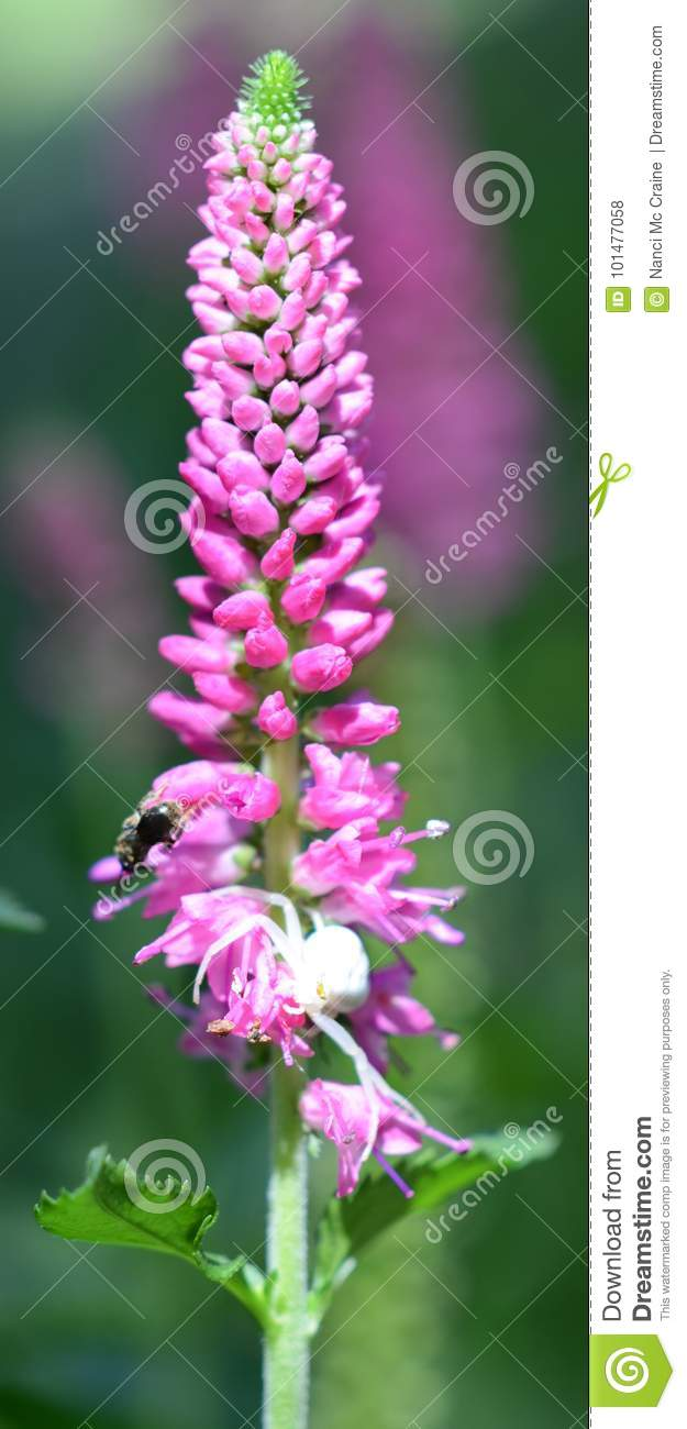 Bee And White Spider On Pink Flower Stem Stock Photo Image Of
