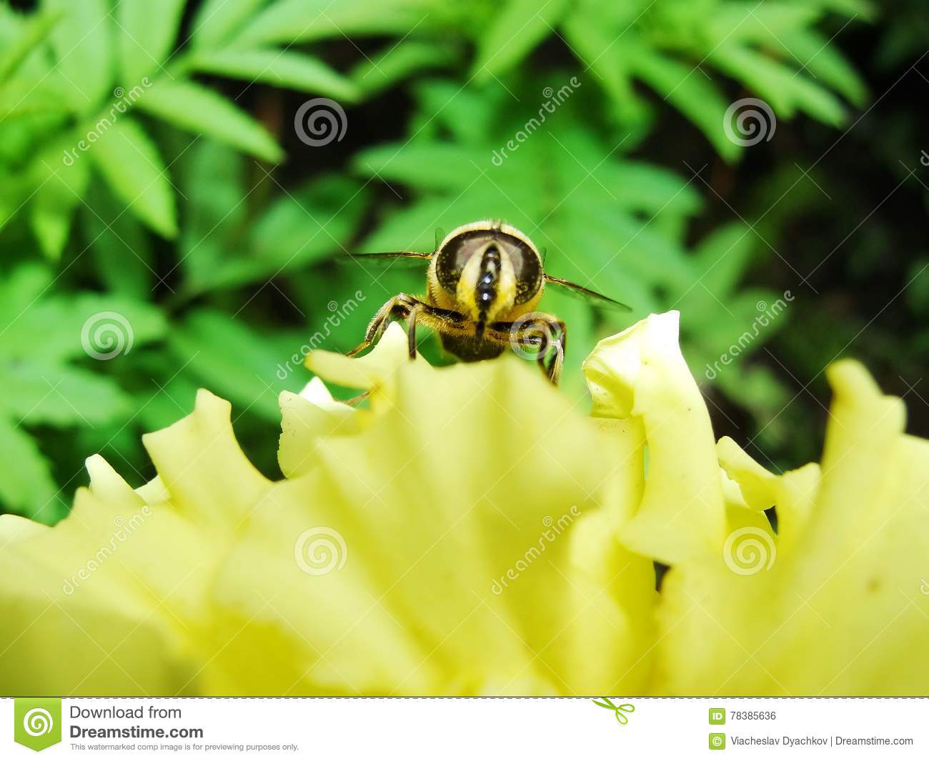 In the summer garden. wasp collects nectar on a yellow flower garden.