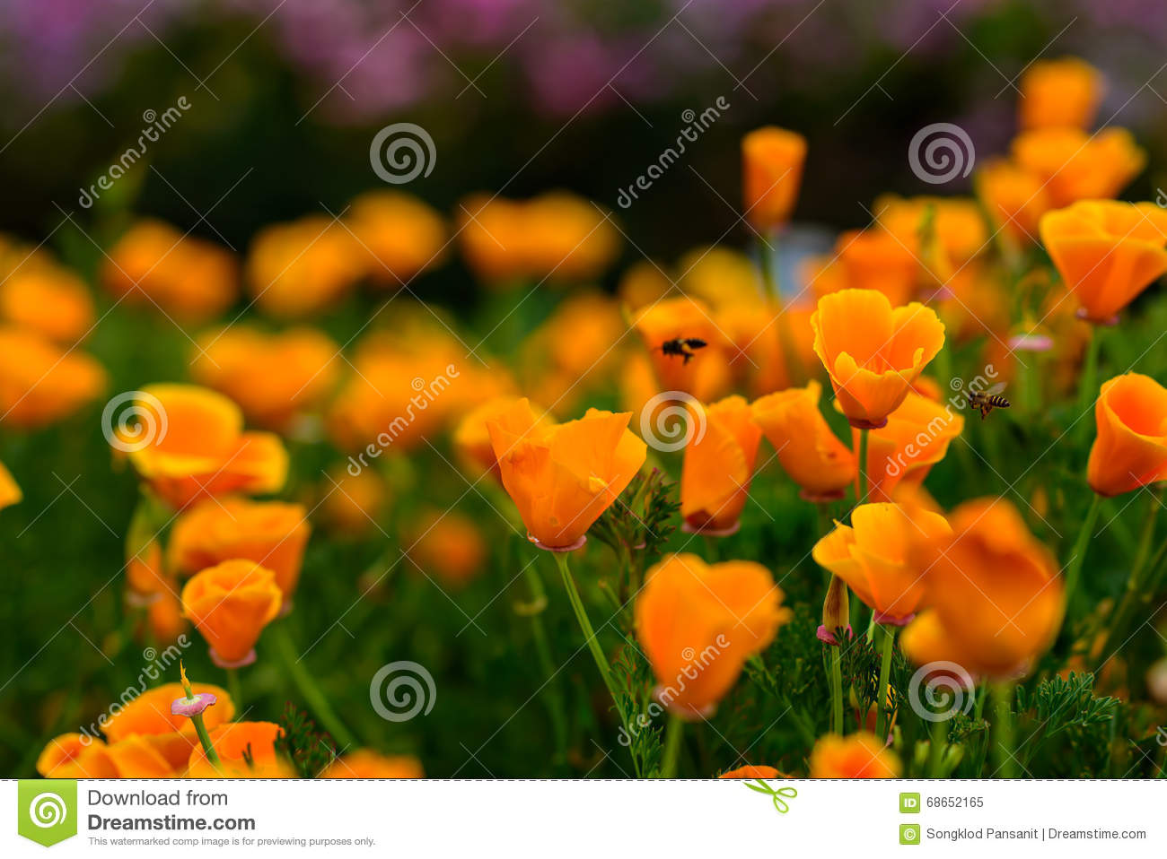 Bee and yellow poppies