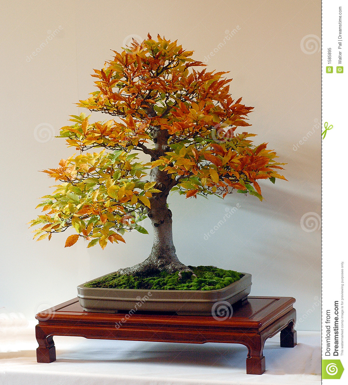 Beech bonsai in fall color