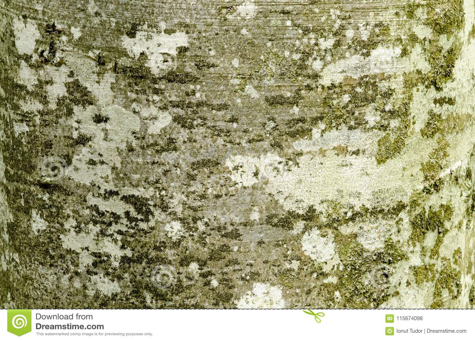 Beech tree bark with textured pattern