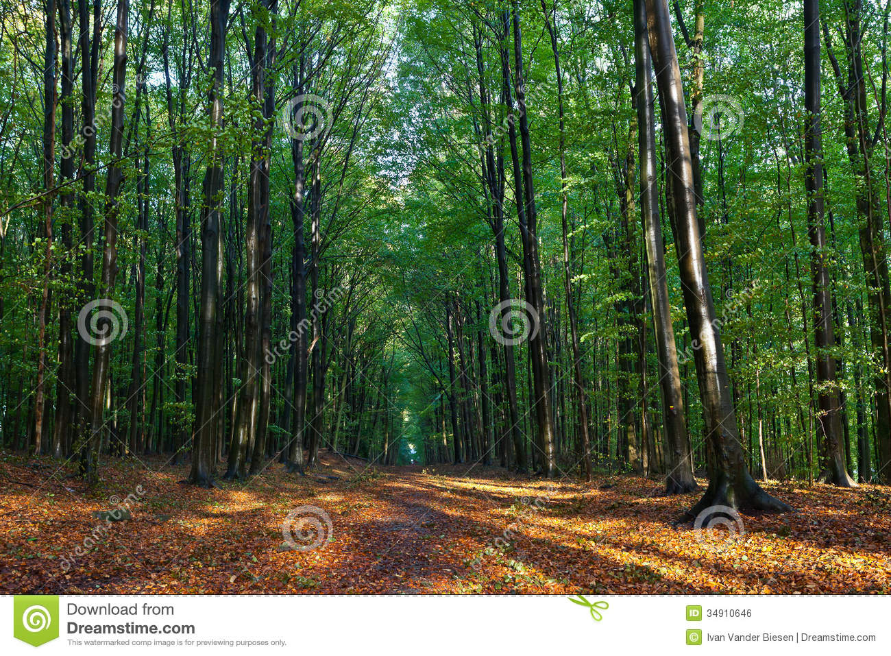 Beech trees leaves woods autumn