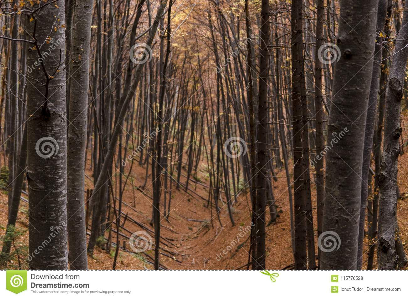 Beech trees trunks forest in autumn