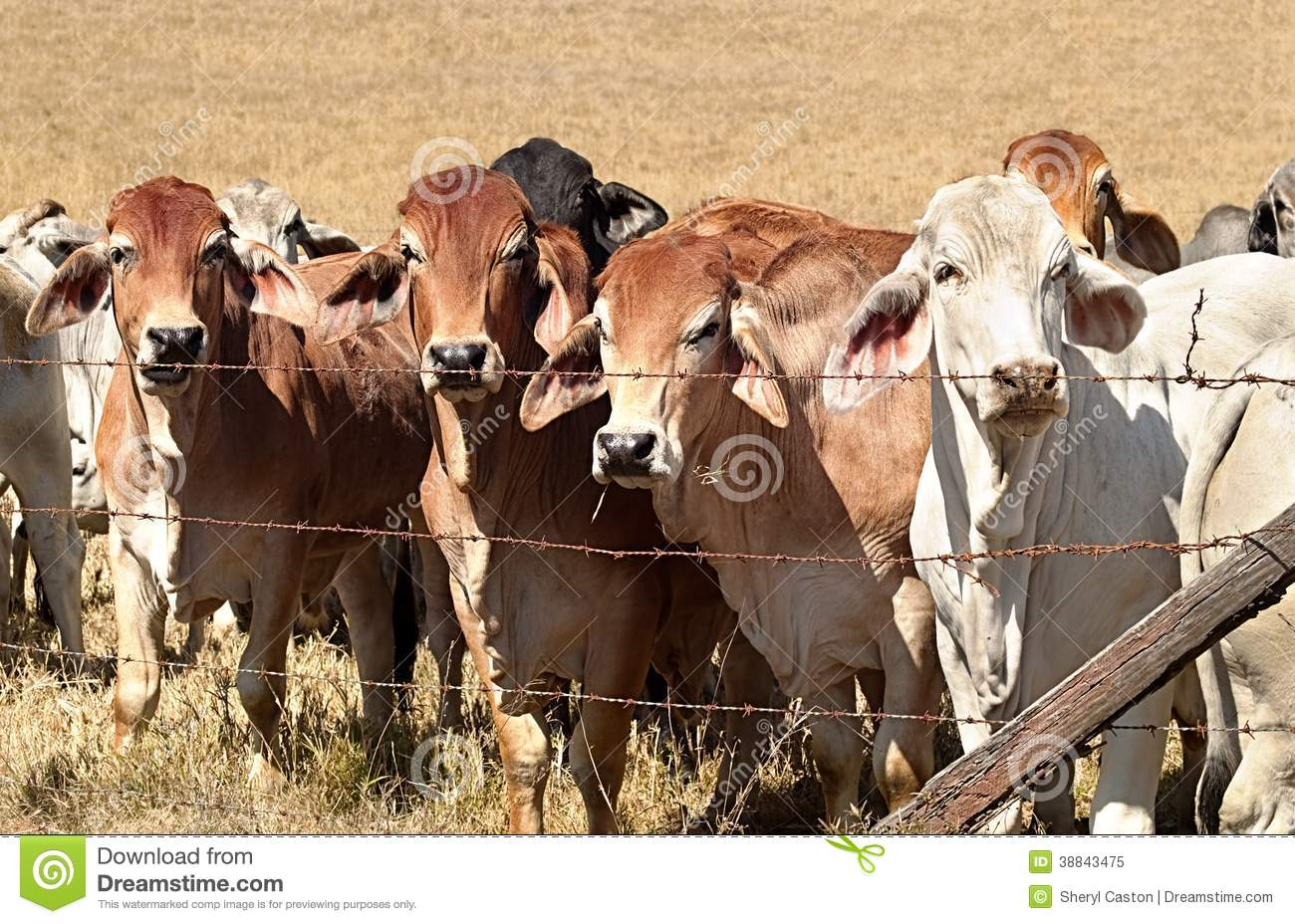 Beef Cattle Cows On Australian Ranch Stock Photo Image