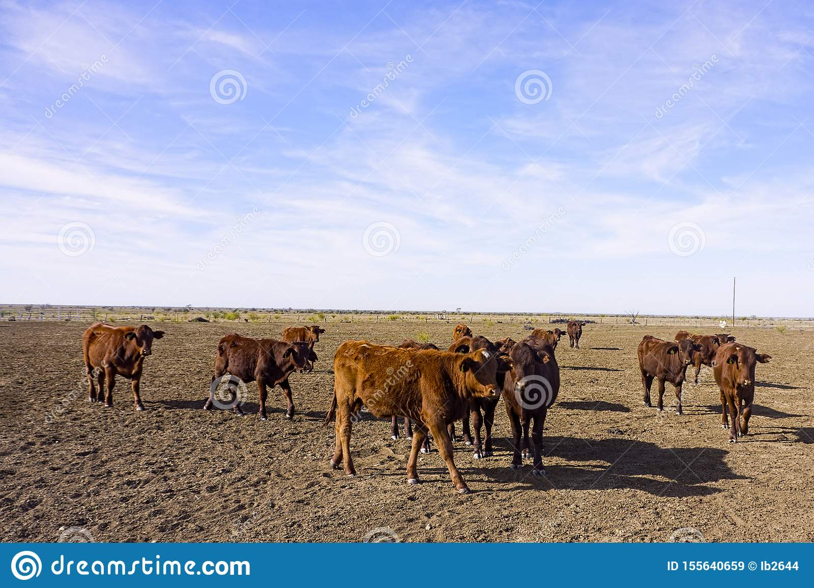 Beef cattle in drought parched paddock